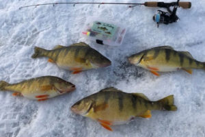 5 Ice Fishing for Perch Tips to Fill a Bucket Tailored Tackle