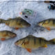 5 Ice Fishing for Perch Tips to Fill a Bucket
