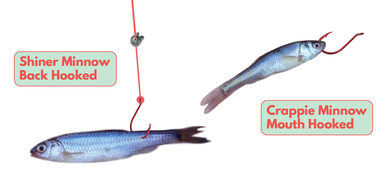 How to bait a Minnow Front Back Shiner Crappie Tailored Tackle