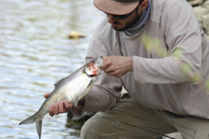 how-to-fish-for-shad-american-hickory-shad-fishing-during-the-spawn-2