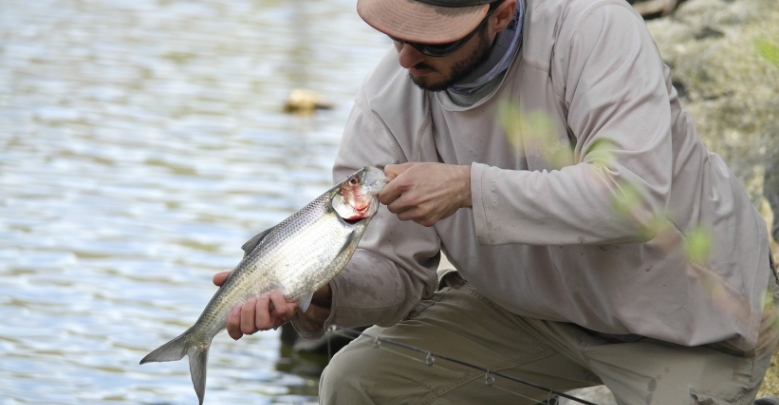 How to Fish for Shad: American & Hickory Shad Fishing during the Spawn